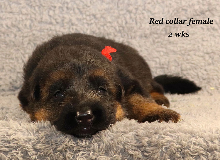 Kondor x Gracie - 2 Weeks Red Collar Female