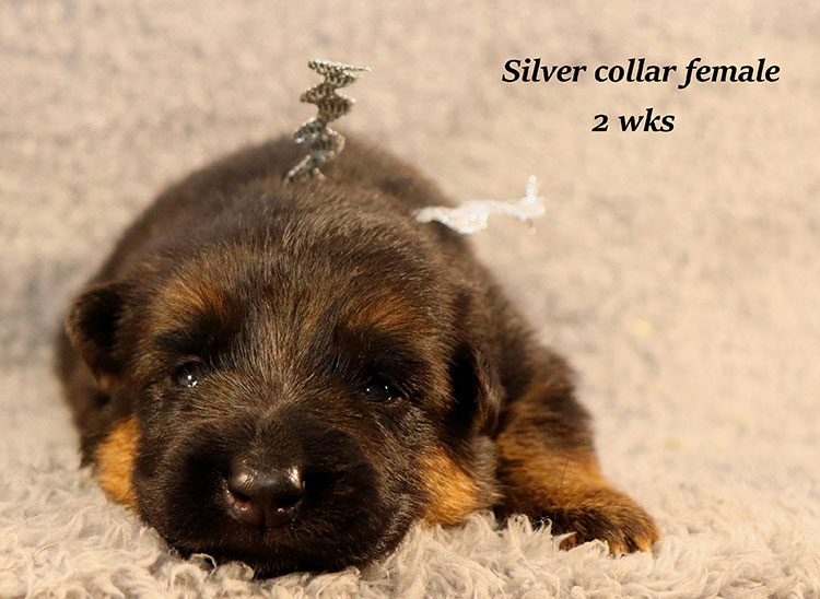Kondor x Gracie - 2 Weeks Silver Collar Female