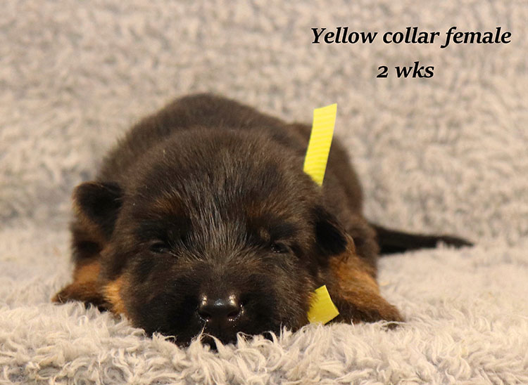 Kondor x Gracie - 2 Weeks Yellow Collar Female