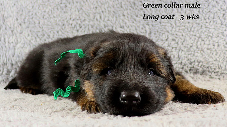 Kondor x Gracie - 3 Weeks Green Collar Male 2