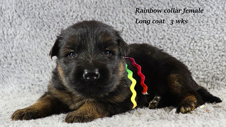 Kondor x Gracie - 3 Weeks Rainbow Collar Female