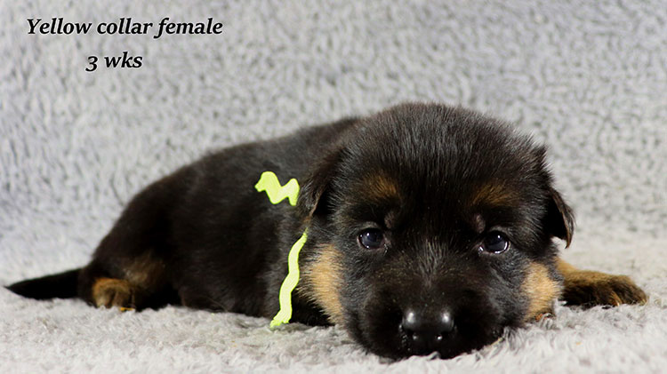 Kondor x Gracie - 3 Weeks Yellow Collar Female
