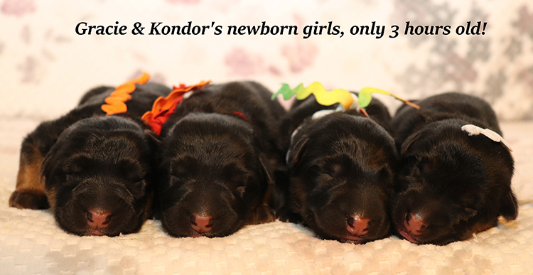Kondor x Gracie - Newborn Girls