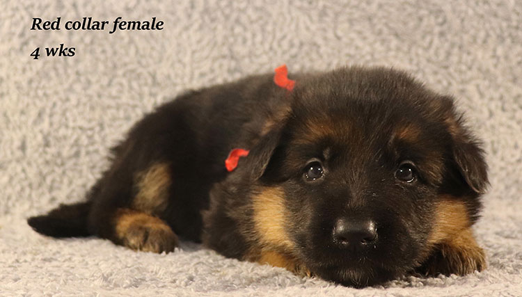 Kondor x Kondor - 4 Weeks Red Collar Female