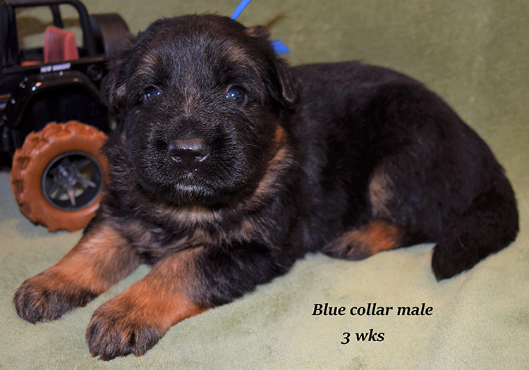 Rocco x Anadja - 3 Weeks Blue Collar Male