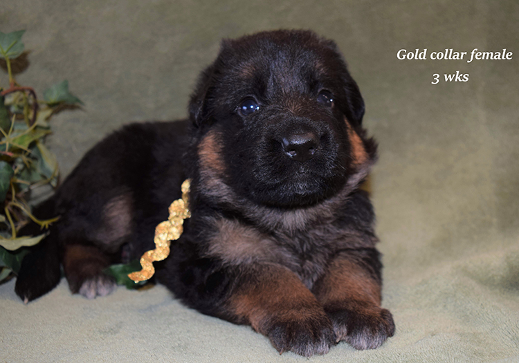 Rocco x Anadja - 3 Weeks Gold Collar Female