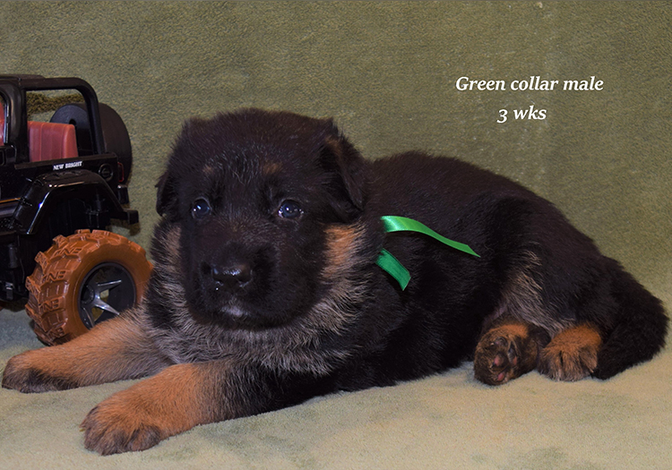Rocco x Anadja - 3 Weeks Green Collar Male