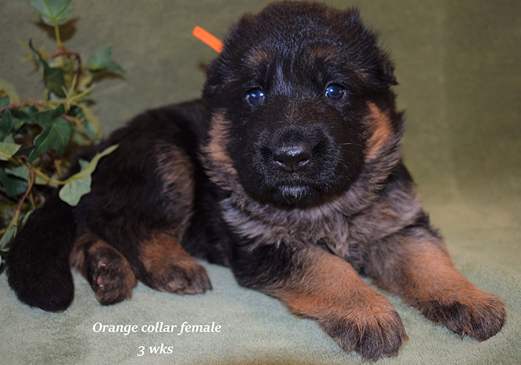Rocco x Anadja - 3 Weeks Orange Collar Female