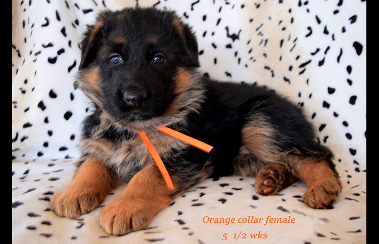 Rocco x Anadja - 5 and Half Weeks Orange Collar Female