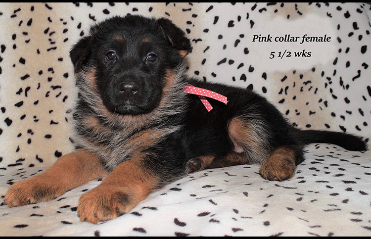 Rocco x Anadja - 5 and Half Weeks Pink Collar Female