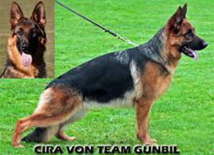 Breeding Female - V Cira von Team Gunbil Sch2 (IPO2), KKL (Germany)