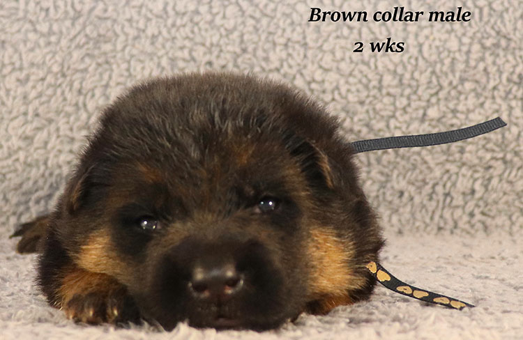 Kondor x Coby - 2 Weeks Brown Collar Male