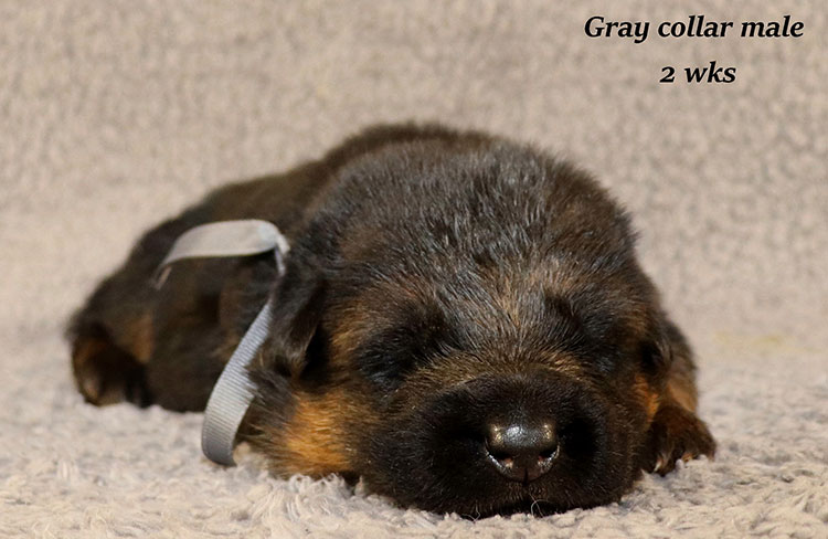 Kondor x Coby - 2 Weeks Gray Collar Male