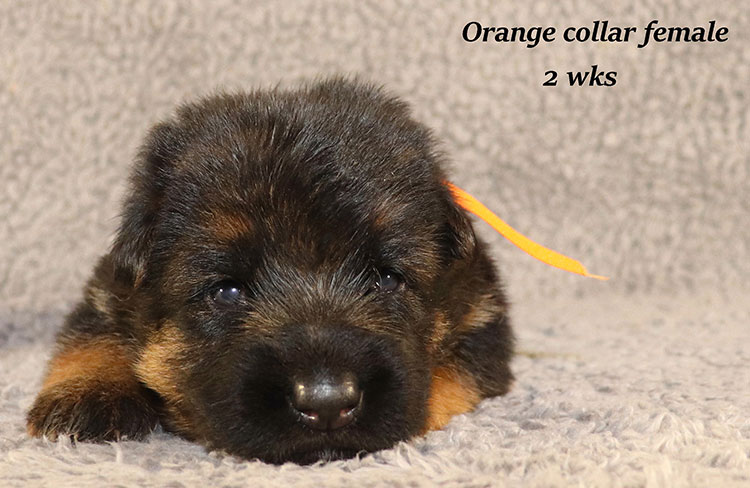 Kondor x Coby - 2 Weeks Orange Collar Female
