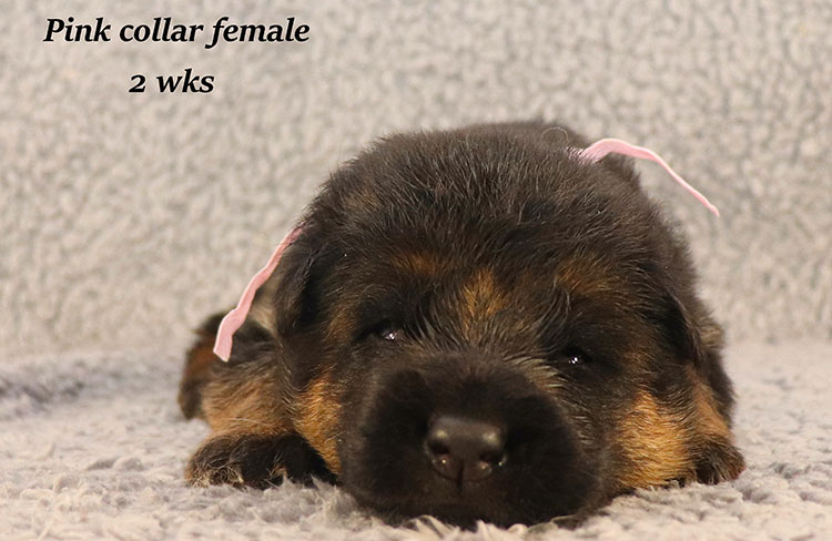 Kondor x Coby - 2 Weeks Pink Collar Female