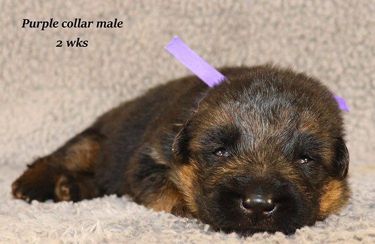 Kondor x Coby - 2 Weeks Purple Collar Male