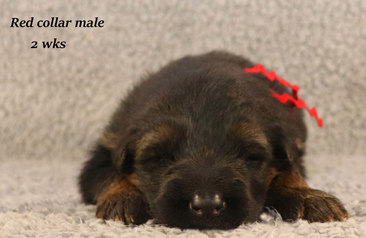 Kondor x Coby - 2 Weeks Red Collar Male