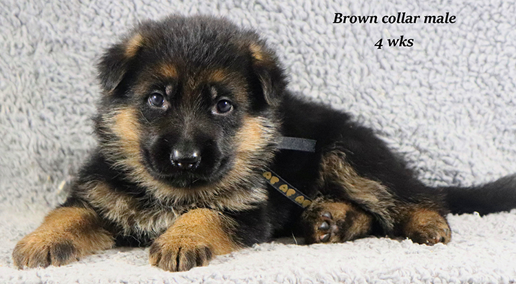 Kondor x Coby - 4 Weeks Brown Collar Male