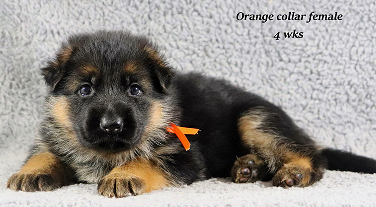 Kondor x Coby - 4 Weeks Orange Collar Female