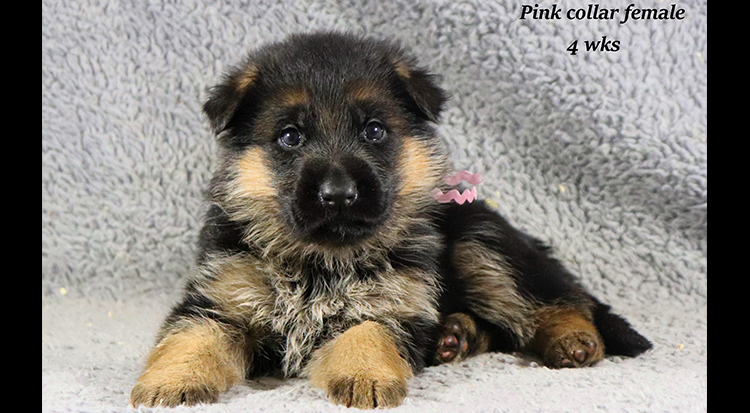 Kondor x Coby - 4 Weeks Pink Collar Female