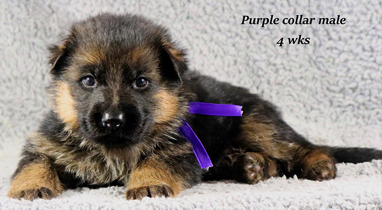 Kondor x Coby - 4 Weeks Purple Collar Male