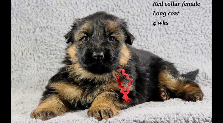 Kondor x Coby - 4 Weeks Red Collar Female