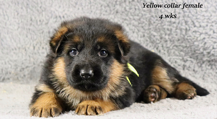Kondor x Coby - 4 Weeks Yellow Collar Female
