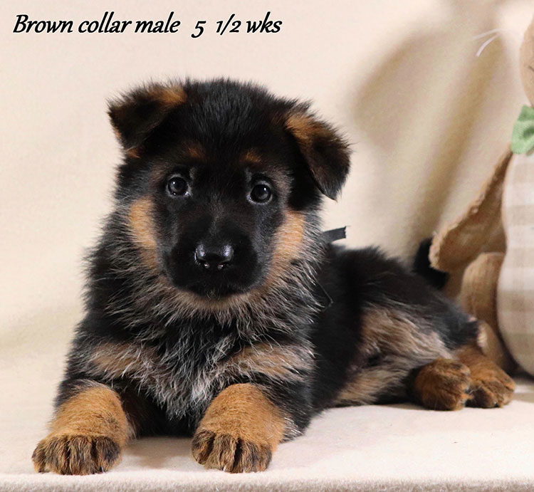 Kondor x Coby - 5 and Half Week Brown Collar Male