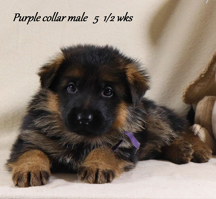 Kondor x Coby - 5 and Half Week Purple Collar Male
