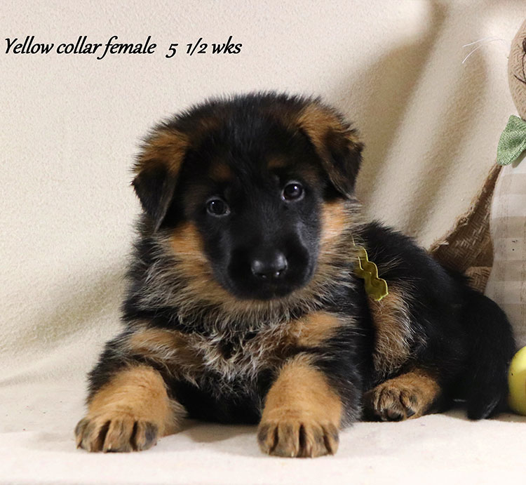 Kondor x Coby - 5 and Half Week Yellow Collar Female