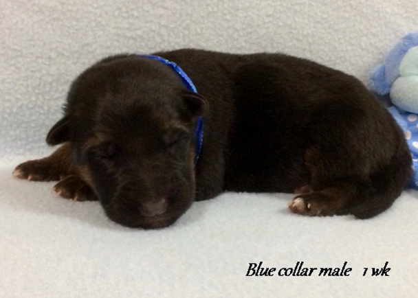 Kondor x Tiara - 1 Week Blue Collar Male