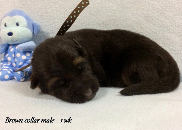 Kondor x Tiara - 1 Week Brown Collar Male