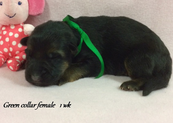 Kondor x Tiara - 1 Week Green Collar Female