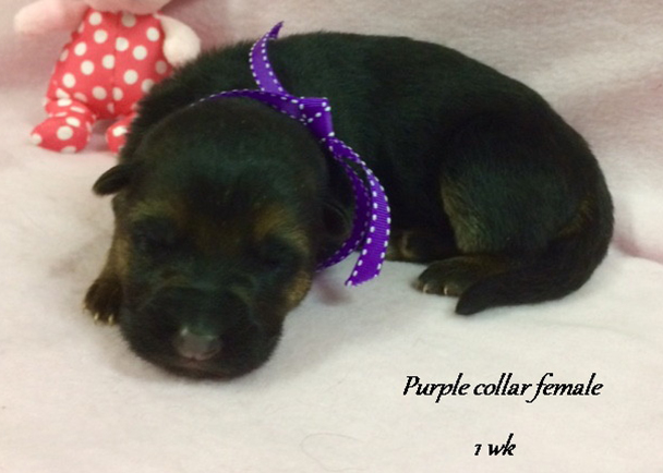 Kondor x Tiara - 1 Week Purple Collar Female