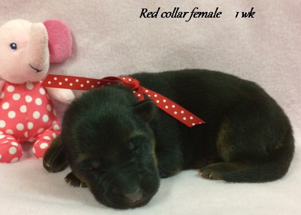 Kondor x Tiara - 1 Week Red Collar Female