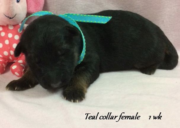 Kondor x Tiara - 1 Week Teal Collar Female
