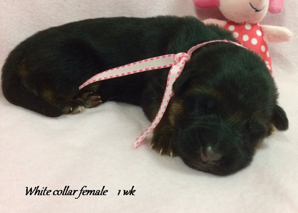 Kondor x Tiara - 1 Week White Collar Female