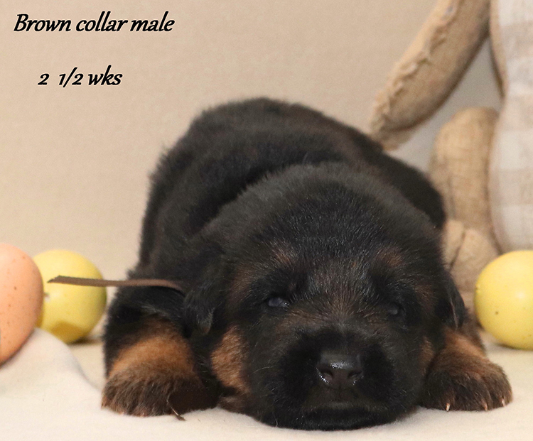 Kondor x Utah - 2 and Half Week Brown Collar Male