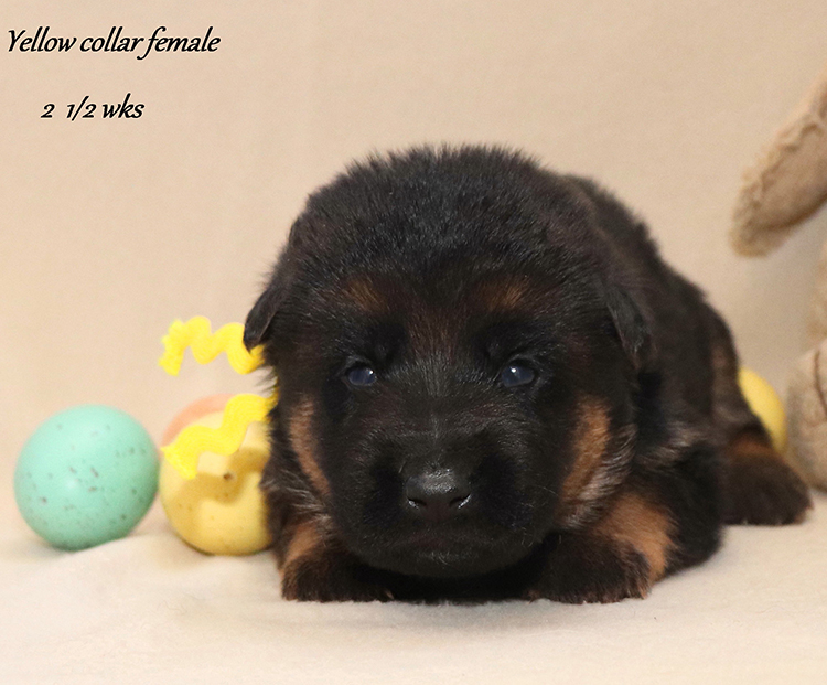 Kondor x Utah - 2 and Half Week Yellow Collar Female