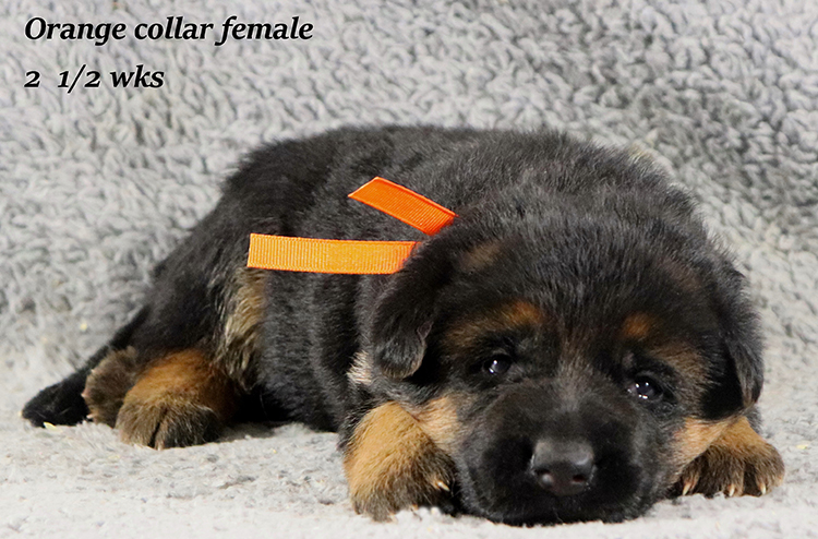 Obi x Mardi Gras - 2 and Half Week Orange Collar Female