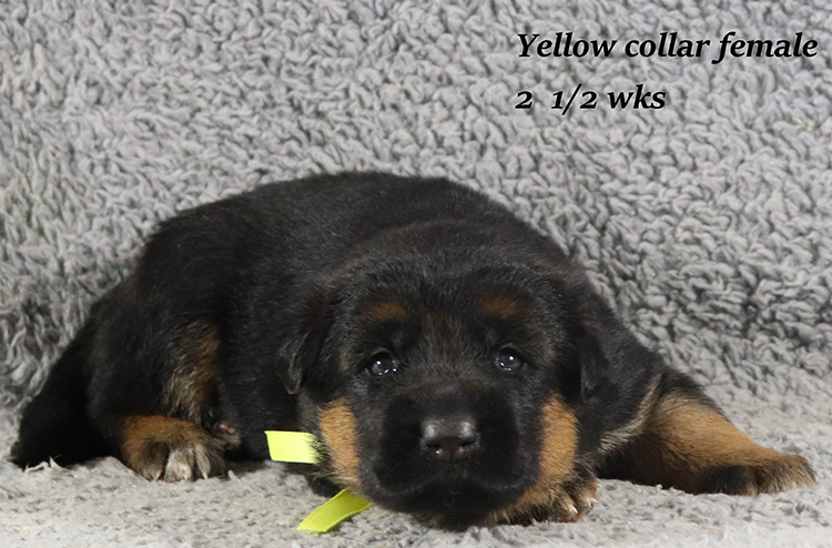 Obi x Mardi Gras - 2 and Half Week Yellow Collar Female