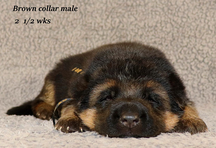 Rocco x Ischara - 2 and Half Weeks Brown Collar Male