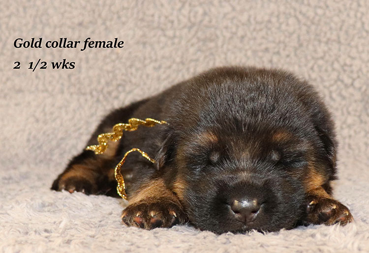 Rocco x Ischara - 2 and Half Weeks Gold Collar Female