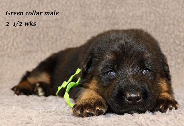 Rocco x Ischara - 2 and Half Weeks Green Collar Male