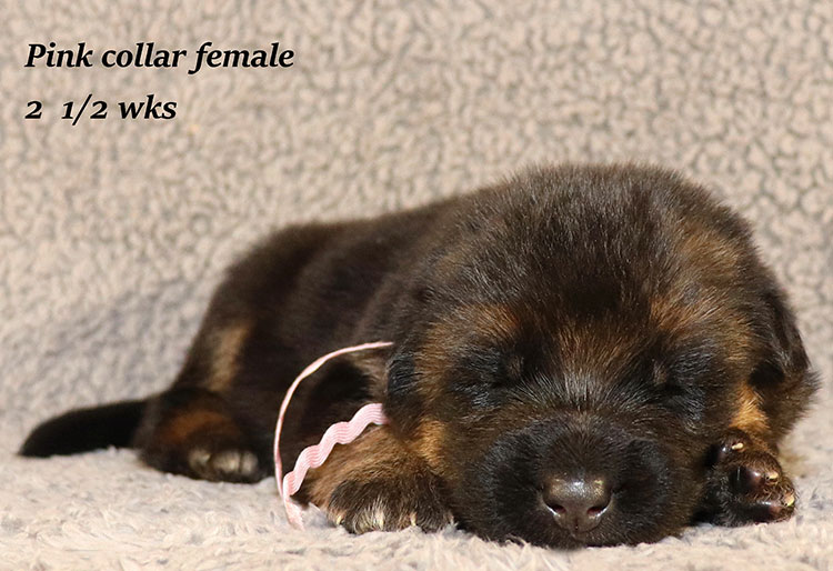 Rocco x Ischara - 2 and Half Weeks Pink Collar Female