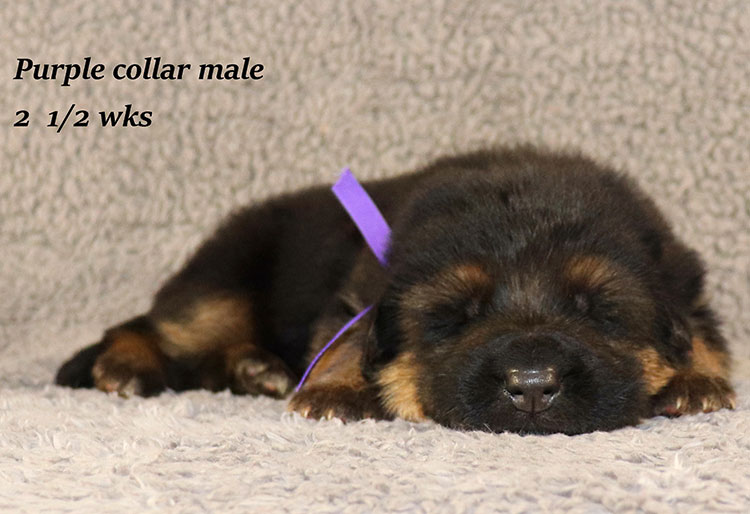 Rocco x Ischara - 2 and Half Weeks Purple Collar Male