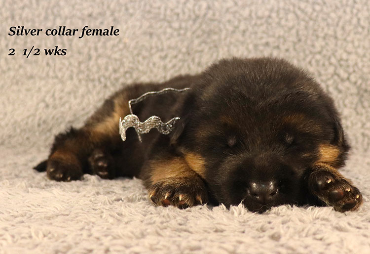 Rocco x Ischara - 2 and Half Weeks Silver Collar Female