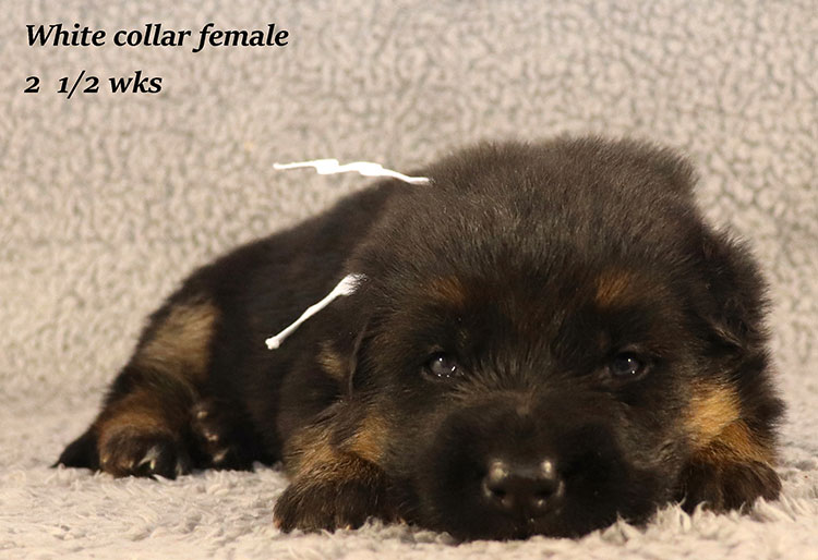 Rocco x Ischara - 2 and Half Weeks White Collar Female