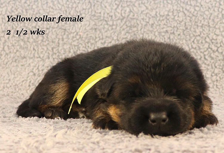 Rocco x Ischara - 2 and Half Weeks Yellow Collar Female