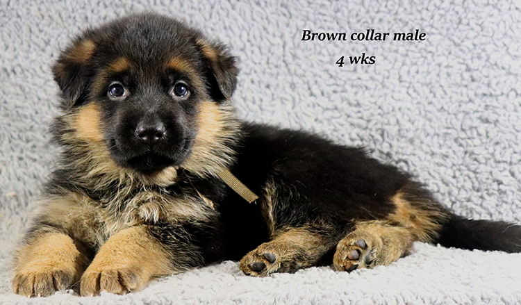 Rocco x Ischara - 4 Weeks Brown Collar Male